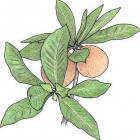 Genipa americana L. (syn. Genipa barbata Presl.)