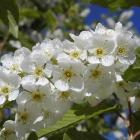 Prunus padus