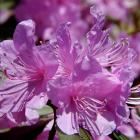 Les rhododendrons (tsutsuji)