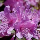 Rhododendron (tsutsuji)