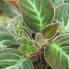 Gloxinella lindeniana