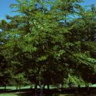 Gymnocladus dioica.
