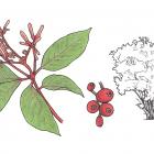 Hamelia patens Jacq. (syn. H. erecta, H. nodosa Mart. & Gal.)