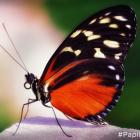 Papillons en liberté - Heliconius hecale