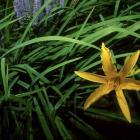 Hemerocallis cv.