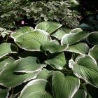 Hosta Frosted Jade