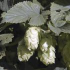 Humulus lupulus