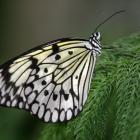 Papillons en liberté 2004 (Idea leucone).