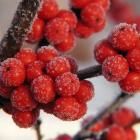 Ilex verticillata 'Winter Red'.