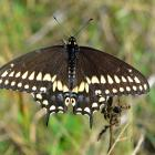 Papilio polyxenes (opened wings)