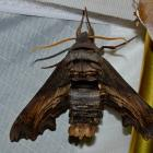 Sphinx d'Abbott
