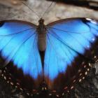 Morpho helenor (opened wings)