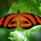 Dryadula phaetusa (opened wings)
