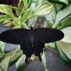 Pachliopta kotzebuea (male)