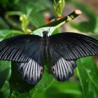 Papilio rumanzovia (male)