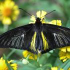 Troides rhadamantus (opened wings)