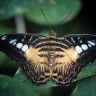 Parthenos sylvia sylvia (opened wings)