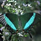 Papilio palinurus (opened wings)