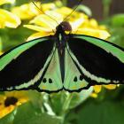 Ornithoptera priamus (male)