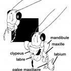 Identification des pièces buccales