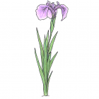 Iris setosa