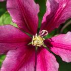 Clematis 'Evifive'