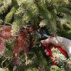 Conifer - Maintenance pruning
