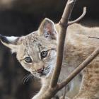 The young lynx