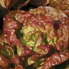 Lactuca sativa 'Merveille des quatres saisons'