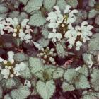 Lamium maculatum 'White Lily'