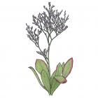 Limonium nashii