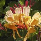 Lonicera x heckrottii 'Gold Flame'