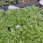 Semis de basilic (Ocimum basilicum)