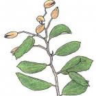 Luehea speciosa Willd.  (Syn.  Luehea divaricata Mart.)