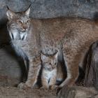 Lynx, femelle, et son bébé.