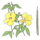 Macfadyena unguis-cati (L .) A. Gentry
