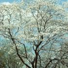 Magnolia kobus.