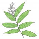 Maianthemum racemosum (anc.: Smilacina racemosa)