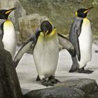 King Penguins (Aptenodytes patagonica) in the Sub-Antarctic Islands at the Biodôme