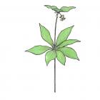 Medeola virginiana