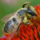 Megachile rotonda