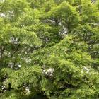 Metasequoia glyptostroboides.