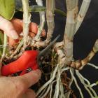 Division d'un plant de Cattleya