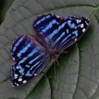Myscelia ethusa