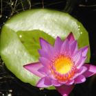 Nymphaea 'Panama Pacific'.