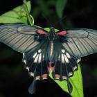 Papilio memnon