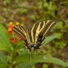 Papilio pilumnus
