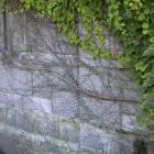 Parthenocissus tricuspidata