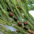 Parthenolecanium fletcheri