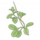 Peperomia rotundifolia (L.) HBK (syn. P. nummulariifolia HBK)